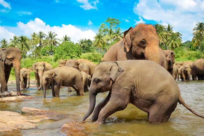 Слоны Шри-Ланки